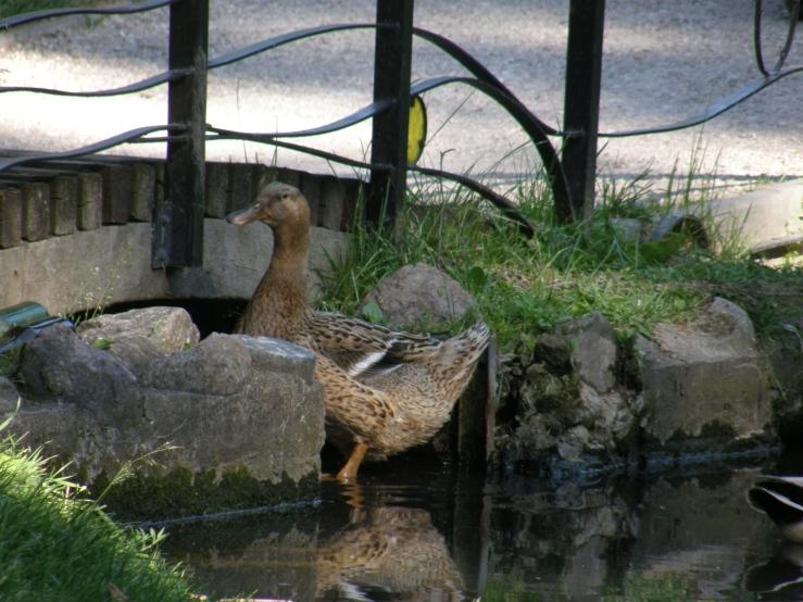 Hybrid duck2