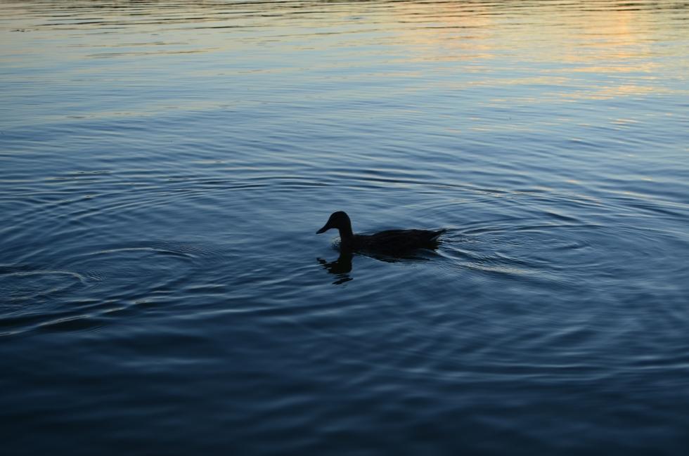 Anonymous duck